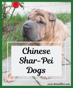 Chinese Shar-Pei dogs, with their unusual muzzle, black tongue, and folds of loose skin, sets them apart from hundreds of other breeds. Cute Dogs Breeds, Dog Breeds, Chinese Shar Pei Dog, Boxer Dog Breed, Shar Pei Puppies, Scary Dogs, Cute Dog Photos, Dog Books, Purebred Dogs