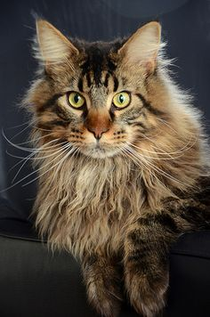 Maine Coon Cat - Looks like Spice did