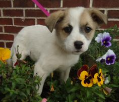 Rose is an adoptable Spitz Dog in Winston-Salem, NC. These pups are adorable and ready to play! Born to a stray, they are now safe in foster care, slowly learning the basics on housebreaking and puppy...