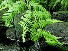 Did you know ferns have a long history of folklore? See plant lore and tips on growing the Boston Fern and Staghorn Fern.