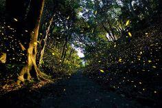 #蛍 #fireflies