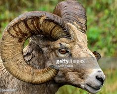close-up-side-view-of-ram-with-large-horns