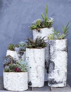 re-use of birch logs for succulents More