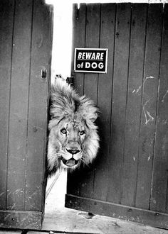"Photographie amusante - animaux sauvage [amusing animal photography] *[article: 90 black & white photography ideas to decorate your walls] {Lion- ""Beware of Dog"" sign} [image credit: Archzine FR] Animals And Pets, Funny Animals, Cute Animals, Wild Animals, Baby Animals, Foto Top, Dangerous Dogs, Beware Of Dog, Dog Signs"