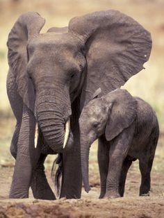 African Elephants, Tarangire National Park, Tanzania Photographic Print by Art Wolfe at AllPosters.com