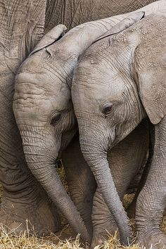 African Bush Elephant Calves by Art Wolfe Photographer of the Year - 2013 Nature's Best Photography Windland Smith Rice International Awards