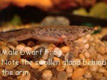 African Dwarf Frog Sexing and Breeding