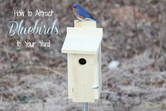 How to Attract Bluebirds to Your Yard - DailyPea.com