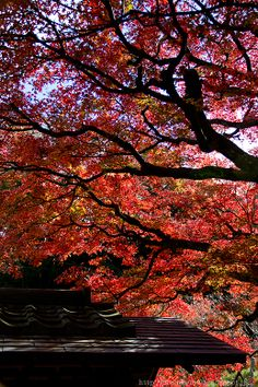Kamakura, Japan. autumn foliage 2013.11.30
