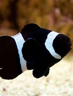 black percula clown fish