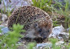 West European Hedgehog, Erinaceus europaeus (insectivore)