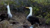 The Amazing Mating Dance of the Galapagos Albatross | Storyful - Yahoo Screen