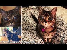 Kucing Bermata 'Alien' Ini Menghebohkan Youtube! ~ Berita 13