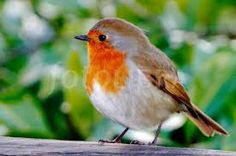 Image result for robin redbreast