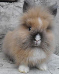 Bunny Lion head