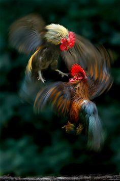 Gallos en combate
