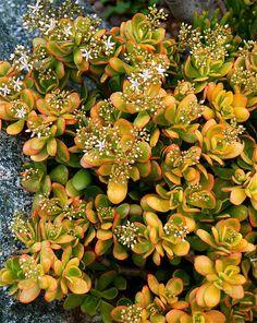 Crassula ovata 'Hummel's Sunset Jade'