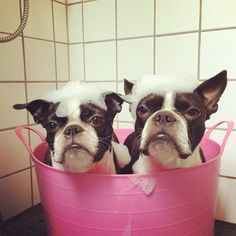 These Two Boston Terrier Dogs Prefer Taking a Bath Together!  - Lucca and Yodi from Denmark