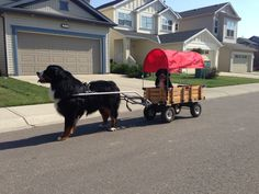 Bernese Mountain Dog pulling Berner puppy in cart