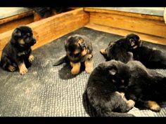 German Shepherd Puppies Archives | German Shepherd Planet