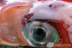 Colossal Squid has the largest eyes of any known animal https://curionic.com/blog/colossal-squid-has-the-large-eyes-of-any-known-animal?utm_content=bufferd7cdd&utm_medium=social&utm_source=pinterest.com&utm_campaign=buffer #staycurious #facts #fact