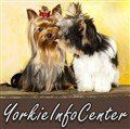 Learn how to care for a Yorkie puppy.  What a Yorkshire Terrier puppy needs. Feeding, grooming, vaccinations, housebreaking and more.