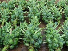 How to Grow Brussels Sprouts...they grow like a weed!!