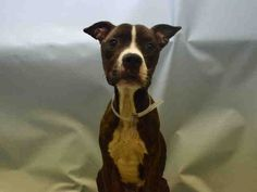 JACKPOT – A1062582 URGENT in NY NEEDS a VET! MY GOD HELP HIM!! STARVED, PRESSURE ULCERS! http://nycdogs.urgentpodr.org/jackpot-a1062582/