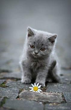 Photograph Gray kitten by Marina Zinovieva on 500px