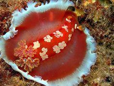Hexabranchus Aureomarginatus, #Hawaii #nudibranch