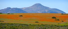 The Wild Flowers of Namaqualand (between Kamieskroon and Garies), Namaqualand, Northern Cape, South Africa, August All About Africa, Western Coast, All Nature, Natural Phenomena, Growing Flowers, Places Around The World, Beautiful World, Wild Flowers, Places To See