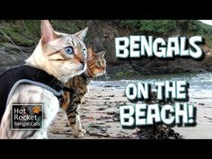 Talking Bengal cats on the beach! Rocket & Pixel at the seaside (Full HD) F2 Savannah Cat, Savannah Chat, Cat Whisperer, Cat Playground, Wild Ones, Getting Wet, I Love Cats, Cat Lady, Bengal Cats