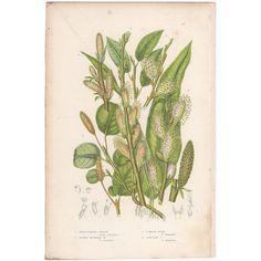 Anne Pratt antique 1860 botanical print, Pl 201 Willow, Flowering Plants