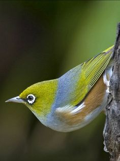 A very small passerine bird of the southwest Pacific. Fairly common in Australia and New Zealand. The white rings around its eyes are feathers ~ photo: Pam Russell. Pretty Birds, Love Birds, Beautiful Birds, Animals Beautiful, Cute Animals, Small Birds, Little Birds, Colorful Birds, Australian Birds