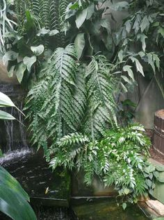 Phlebodium Puerto Rico, Plants, Plant, Planets