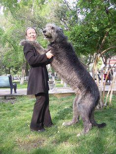 Giant Dog Breed Mass Scottish Deerhound