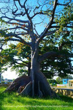 Ceibas Centenarias Quebradillas, Puerto Rico