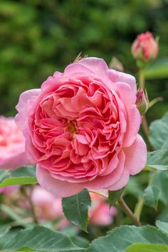 English Rose 'Boscobel'