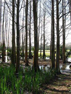 Louisiana swamp trees in winter