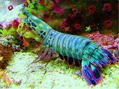Peacock Mantis Shrimp (Odontodactylus scyllarus) Underwater Creatures, Underwater Life, Ocean Creatures, Under The Water, Life Under The Sea, Beautiful Creatures, Animals Beautiful, Mantis Shrimp, Fauna Marina