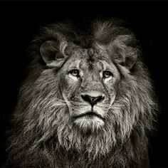 Find Black White Lion Portrait On Black stock images in HD and millions of other royalty-free stock photos, illustrations and vectors in the Shutterstock collection. Thousands of new, high-quality pictures added every day. Canvas Wall Art, Canvas Prints, Art Prints, Lion Tapestry, Black And White Lion, Lion Photography, Lion Poster, Lion Drawing, Lion Wallpaper