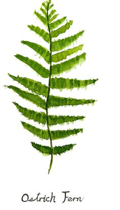 ' Ostrich fern watercolor' Sticker by ColorandColor Container Gardening Vegetables, Succulents In Containers, Container Flowers, Container Plants, Vegetable Gardening, Fern Plant, Plant Leaves, Ferns Care, Ostrich Fern