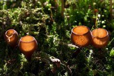 Pikareita sammalikossa - vuokonpahkapikari Dumontinia tuberosa pikari sieni…