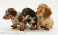 Dogs: Three Dapple Miniature Long-haired Dachshund pups.