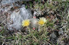 Mammillaria solisioides | NOVÁ AZTEKIA