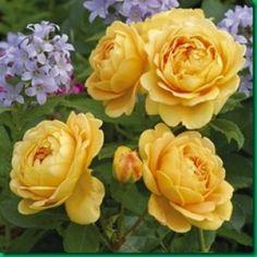 Rosas inglesas, una combinación perfecta                                                                                                                                                      Mais