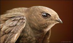 Common Swift (Apus apus) by Marek Velechovský Beautiful Birds, Animals Beautiful, Swift Bird, I Like Birds, Crazy Bird, Brown Bird, Wildlife Photography, Beautiful Creatures, Pet Birds