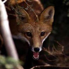 Red Foxes at the EcoTarium