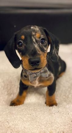 A Cutest Dachshund Dog Puppy - Top Funny Moments Showing That Dachshunds Are The Cutest Dogs If you are a dachshund lover, you pr - Dapple Dachshund, Dachshund Puppies, Weenie Dogs, Dachshund Love, Cute Puppies, Cute Dogs, Dogs And Puppies, Daschund, Doggies