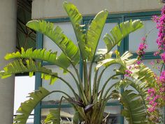 Maale Adumim, Israel - Gardens, 06 neighborhood (צמח השדה), banana palm tree